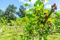 Fresh mulberry, black ripe and red unripe mulberries on the bran Royalty Free Stock Photo