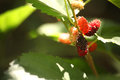 Fresh mulberry black ripe and red unripe mulberries on the branch. Royalty Free Stock Photo
