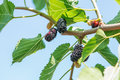 Fresh mulberry, black ripe and red unripe mulberries Royalty Free Stock Photo