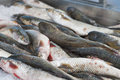 Fresh mullet fish l seheli pile of at the market Royalty Free Stock Image