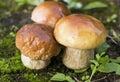 Fresh mushrooms on the moss Royalty Free Stock Image
