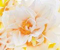 Fresh narcissus beautiful closeup background macro Stock Photos