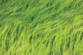 Fresh New Green Common Wild Barley Field Horizontal Background Pattern, Hordeum vulgare L. Spikes Organic Cereals Metaphor Concept Royalty Free Stock Photo