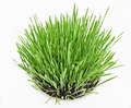 Fresh new green grass in white plate Royalty Free Stock Photography