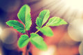 Fresh new green leaves and copy spase glowing in sunlight defocus view for background Royalty Free Stock Photos