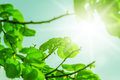 Fresh new green leaves and copy spase glowing in sunlight defocus view for background space Royalty Free Stock Image