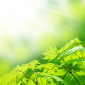 Fresh new green leaves and copy spase glowing in sunlight defocus view for background space Royalty Free Stock Photography