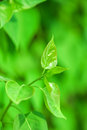 Fresh new green leaves and copy spase glowing in sunlight defocus view for background space Royalty Free Stock Photo