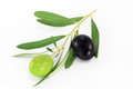 Fresh olive branch black and green olives on white background Royalty Free Stock Image