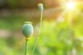 Fresh opium raw Royalty Free Stock Photo
