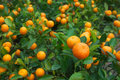 Fresh orange Stock Images