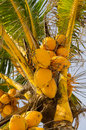 Fresh orange coconuts on the tree Stock Image