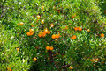 Fresh orange fruits on tree sunny day Stock Images