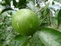 Fresh orange on the tree Stock Images