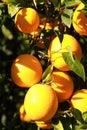 Fresh oranges Royalty Free Stock Photo