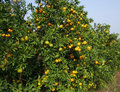 Fresh Oranges on a tree Royalty Free Stock Images