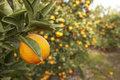 Fresh Oranges on Tree in the Sun Royalty Free Stock Photography