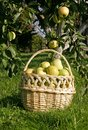 Fresh organic apples just picked from the tree Royalty Free Stock Image