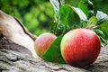 Fresh organic apples with leaves Royalty Free Stock Photos
