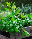 Fresh organic basil Royalty Free Stock Images
