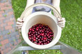 fresh organic cherries Royalty Free Stock Photo