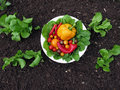 Fresh organic garden vegetables Royalty Free Stock Photo