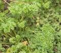 Fresh organic gardening green parsley herb petroselinum Royalty Free Stock Photography
