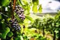 Fresh organic grape on vine branch Royalty Free Stock Photo
