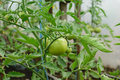Fresh organic green unripe tomato on plant - Solanum lycopersicum Royalty Free Stock Photo