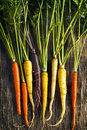 Fresh organic heirloom carrot varieties of purple yellow orange on wooden background Stock Photography