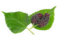 Fresh organic mulberries with its green leaves isolated on white Royalty Free Stock Photo