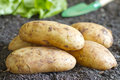 Fresh organic potatoes on the soil in the garden concept Royalty Free Stock Photography