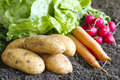 Fresh organic potatoes on the soil in the garden concept Stock Photography