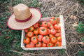 Fresh organic tomatoes in wooden crate Stock Photo