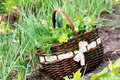 Fresh organic vegetalbles-lettuce,leek, dill,beetroot in a basket placed near a vegetable patch Royalty Free Stock Photo