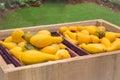 Fresh organic yellow squash at food festival Royalty Free Stock Photo
