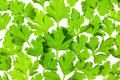 Fresh Parsley close-up background / back-lit Stock Photography
