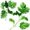 Fresh parsley herb leaves isolated, watercolor illustration on white Royalty Free Stock Photo