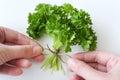 Fresh Parsley / Petroselinum crispum Royalty Free Stock Photo