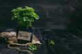 Fresh parsley in pot on the wooden background with copy space Royalty Free Stock Photo