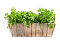Fresh parsley in wooden pot Royalty Free Stock Photo