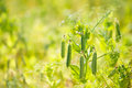 Fresh pea plant ready to harvest macro field shot horizontal Royalty Free Stock Photography