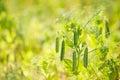 Fresh Pea Plant