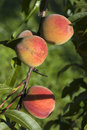 Fresh peach Stock Photography
