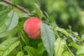 Fresh Peach tree Royalty Free Stock Photo