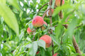Fresh peach  tree Royalty Free Stock Photo