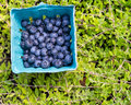 Fresh Picked Blueberries Stock Images