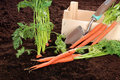 Fresh picked garden carrots with wood box Royalty Free Stock Photos