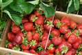 Farm Fresh Strawberries Royalty Free Stock Photo