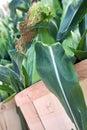Fresh Picked Sweet Corn Stock Photos
